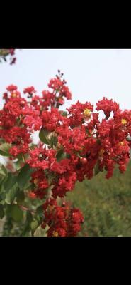河南省郑州市金水区红火球紫薇