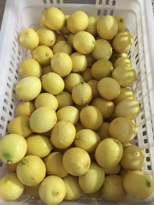 四川省资阳市安岳县安岳柠檬 1.6 - 2两 黄柠檬