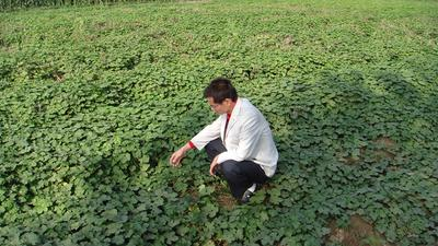 这是一张关于瓜蒌籽 种子,天花粉种子秧苗的产品图片