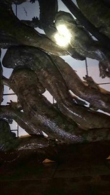 这是一张关于鲫鱼苗 的产品图片
