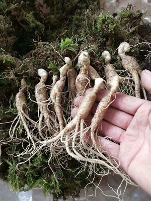 这是一张关于园参 鲜参 的产品图片