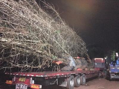 广西壮族自治区桂林市全州县银杏实生树 丛生多杆银杏树