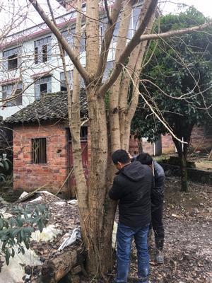 广西壮族自治区桂林市全州县银杏实生树 丛生多杆银杏