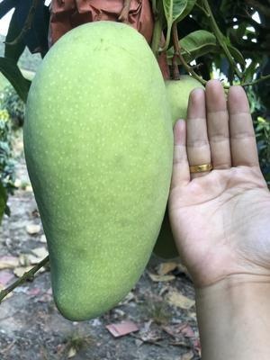 海南省三亚市海棠区水仙芒果 6两以上