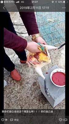 安徽省合肥市巢湖市土鸡 3-4斤 母