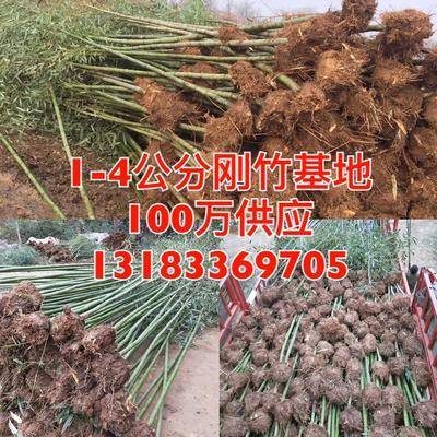 这是一张关于刚竹 2公分竹子100万基地直销的产品图片