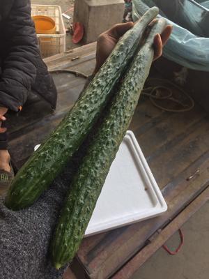 山东省临沂市兰陵县油亮密刺黄瓜 45cm以上