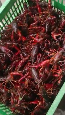 这是一张关于荆州小龙虾 678钱 大红 人工养殖的产品图片