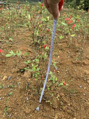 这是一张关于映山红 0.5米以下 的产品图片