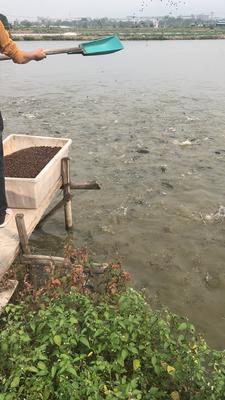 这是一张关于乌鳢 1-1.5公斤 人工养殖 的产品图片