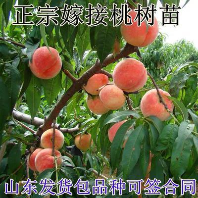 山东省临沂市平邑县水蜜桃苗 0.5~1米