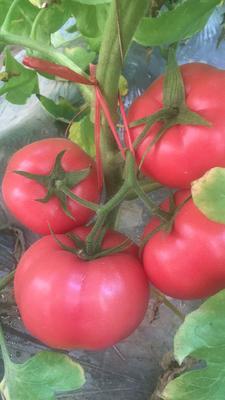 陕西省咸阳市泾阳县普罗旺斯番茄 弧二以上 通货 软粉