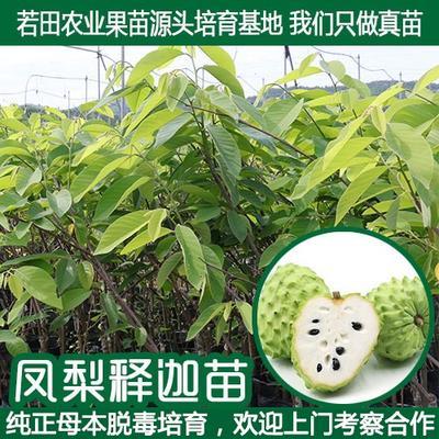 这是一张关于释迦果苗 嫁接苗 台湾凤梨释迦苗番荔枝苗树苗佛头的产品图片