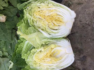 山东省临沂市兰陵县菊锦大白菜 6~10斤 毛菜