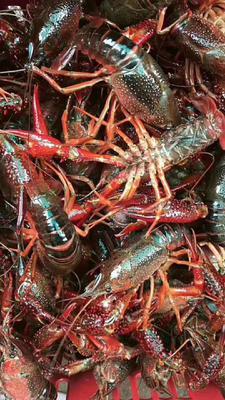 这是一张关于红螯螯虾 0.4-0.6斤/只 国产 的产品图片