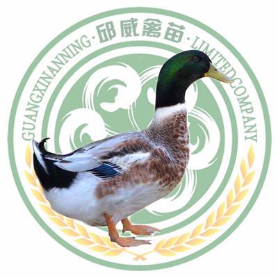 杂交鸭 青头鸭苗 质量保证 运输包活 包打疫苗 厂家直销