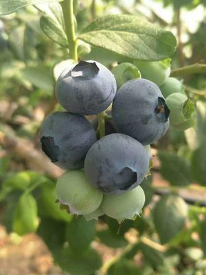 天津蓟县蓝丰蓝莓 15mm以上 鲜果