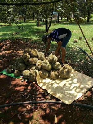 广西壮族自治区崇左市凭祥市金枕头榴莲 2公斤以下 60 - 70%以上