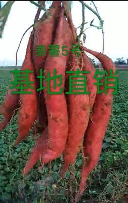 秦薯5号红薯苗 脱毒秦薯5号、基地直销量大从优,直达包邮、免费配送,火速咨询