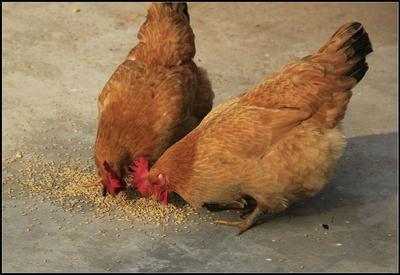 这是一张关于土鸡 4-5斤 统货 的产品图片