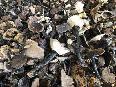 这是一张关于黑灵芝 的产品图片