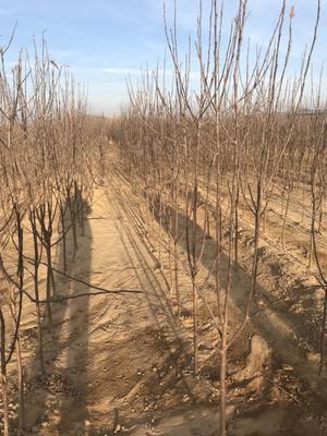 山东省泰安市泰山区阿克苏苹果苗 1.5~2米
