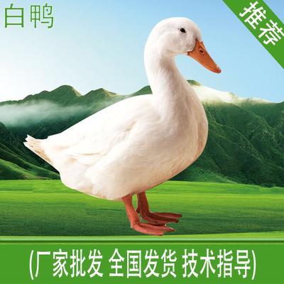 白鸭苗 优质种苗,质量保证