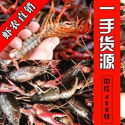 红壳小龙虾 虾农自养直发 肉质饱满一手价格