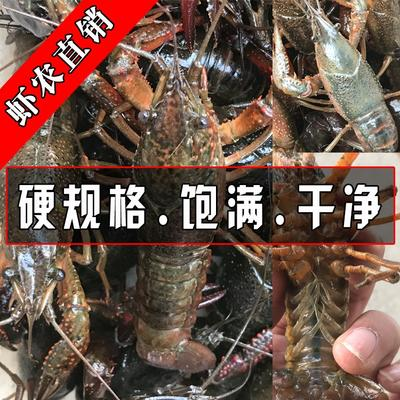 荆州小龙虾 4-6钱 人工养殖 小龙虾养殖基地一手货到货价⦿