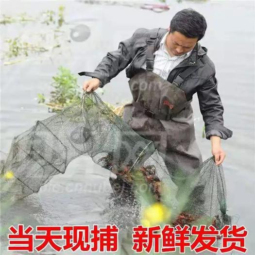 监利小龙虾 4月11日 包运费到货价 小青11元 中青21元 大青25元