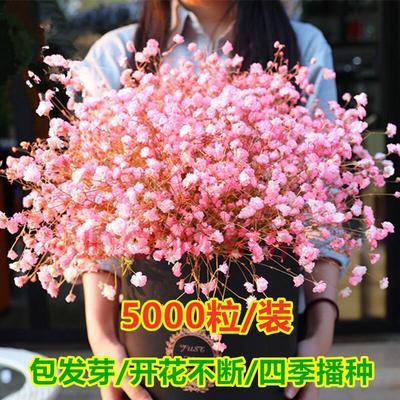 满天星种子 5000粒种子 送肥 生根粉  盆 土  可以选择花种