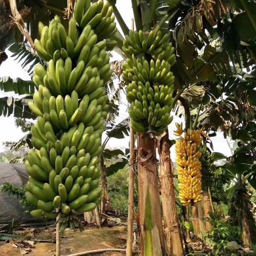 香蕉苗9号