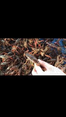 潜江小龙虾 新塘直供,全是硬规格,都是我和附近伯伯们起的虾,欢迎购买。