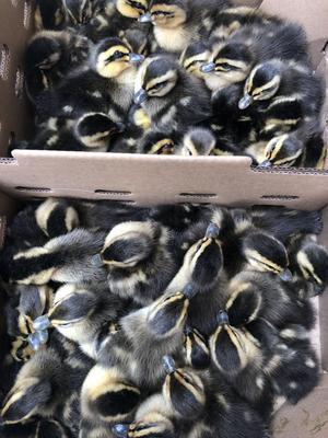 麻鸭苗 厂家直供 大种鸭苗 包运输 包疫苗 头等苗存活率高