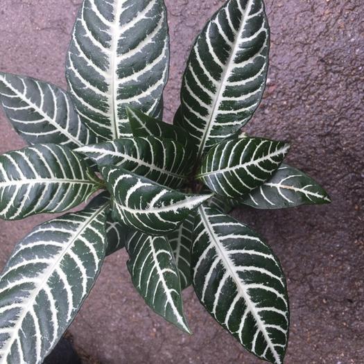 其它苗木 优质银脉花