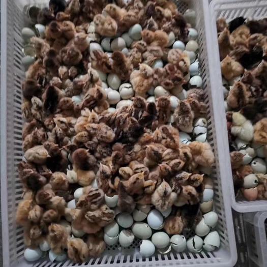 麻羽高产绿壳蛋鸡苗 麻羽绿蛋 绿壳率高95%