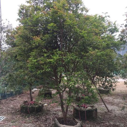 树葡萄苗 树葡萄5-6公分带果树苗