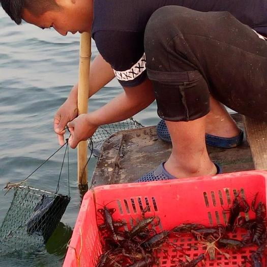 7月16日 特级中等规格小龙虾〈4.6-6.6钱〉16元