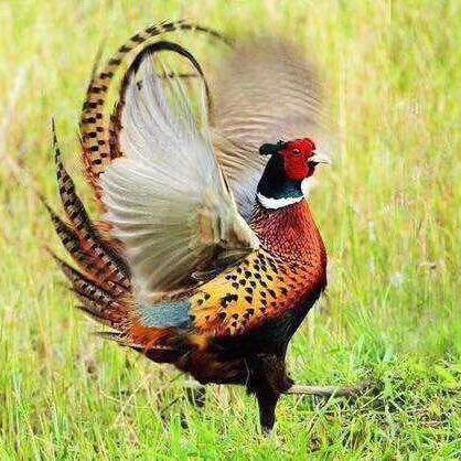 野山鸡环颈雉雉鸡七彩山鸡   广东周边发货包活到家