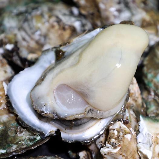 汫洲 生蚝  牡蛎 鲜甜 肥美 无渣;广东省内包邮。