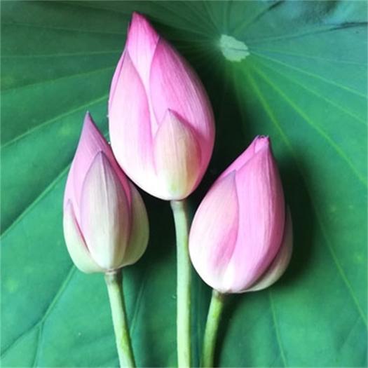 太空莲全红荷花 大朵观赏莲鲜切花 供佛鲜莲花 加冰包邮运送