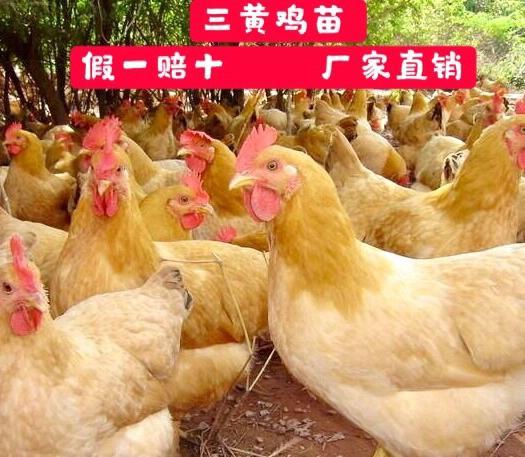 三黄鸡苗 质量保证  包疫苗成活率  品质孵化基地  出壳苗   包邮