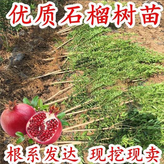 突尼斯软籽石榴树苗 1-3年苗 当年结果 包成活 基地直发 死苗补发