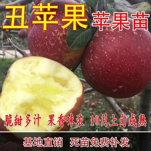 丑苹果苗嫁接    丑苹果树苗盆栽地栽南方北方种植当年结果