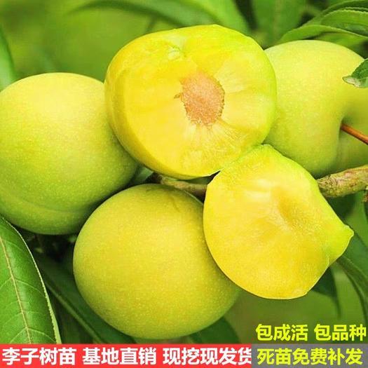 嫁接蜂糖李子苗四川贵州脱骨脆李子树苗盆地栽南北方种植当年结果