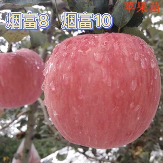 苹果树苗 烟富10 烟富8市场最火的品种,提供系统化管理技术