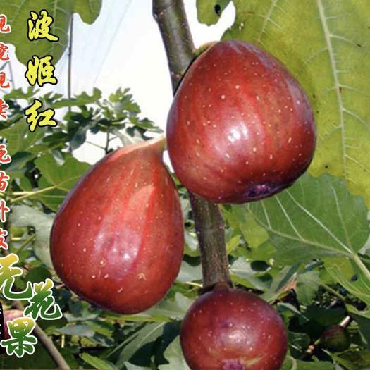 波姬红无花果苗 包品种包成活
