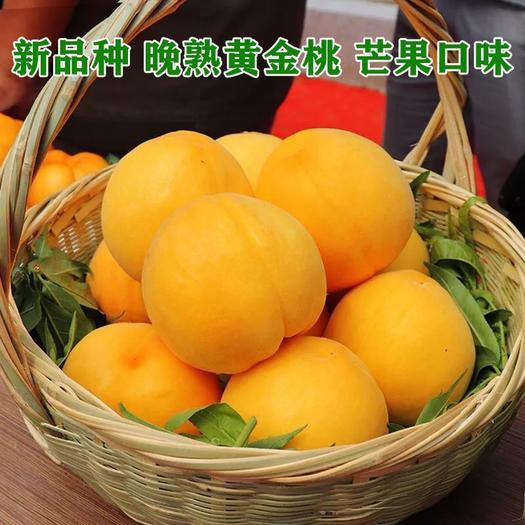 黄桃树苗 晚熟黄桃苗 新品种 芒果味 基地直销 品种保证包成活提供技术