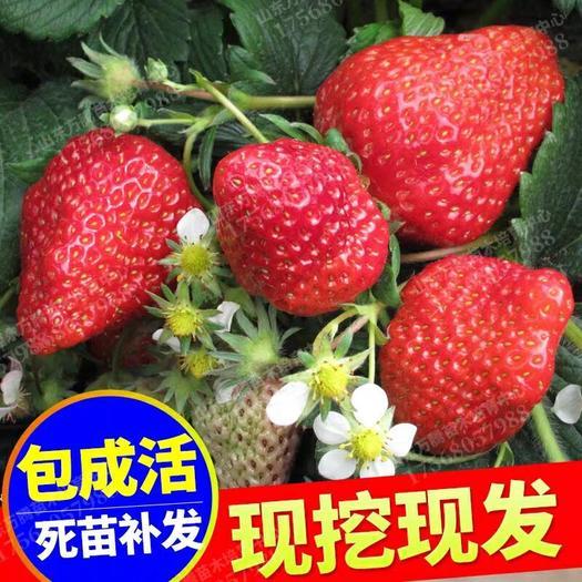美十三草莓苗 100mm-200mm 万亩种植基地现挖现发