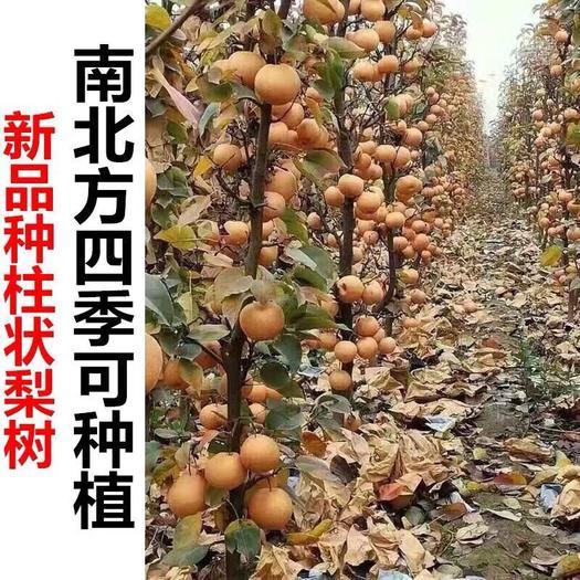 柱状梨苗 柱状梨梨树嫁接苗  保证品种包结果  假一赔十